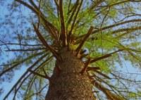 Pinus strobus old tree Appalachian Park