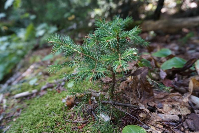 New Handouts Summarize Tree Species Responses to Climate Change