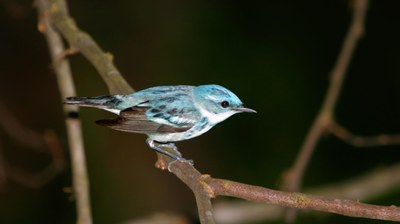 Recovery: Farm Bill Provides Hope for the Cerulean Warbler