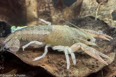 Alabama Statewide Crayfish Survey