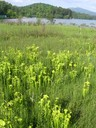 Green pitcher plant is protected under the Endangered Species Act as a federally endangered species.