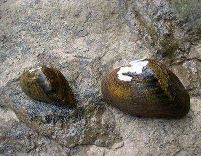 USFWS Northeast Region: Snuffbox mussel