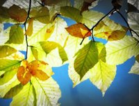 Leaves climate change