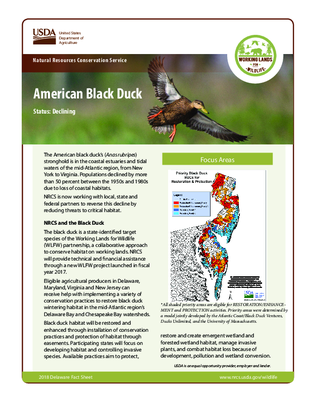 American Black Duck Fact Sheet for Delaware Residents