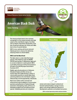 American Black Duck Fact Sheet for Eastern Shore Virginia Residents