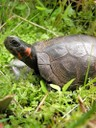 Bog turtles are one of North America's smallest turtles, measuring 3.5 - 4.5 inches in shell length