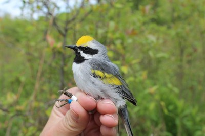 Golden-winged Warbler Ecology and Guidelines for Creating Breeding Habitat Presentation