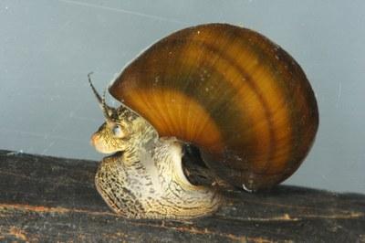 Freshwater Mollusks