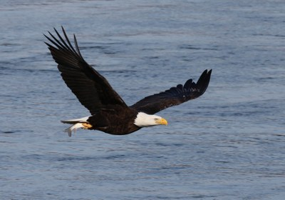 Bald Eagle Nest Monitoring Program Launched by Maryland Bird Conservation Initiative