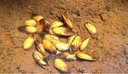 U.S. Fish and Wildlife Service Finds Yellow Lance Mussel Warrants Endangered Species Act Protection