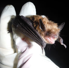 Work by researchers to monitor, protect bats critical as millions perish