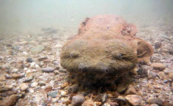 Northeast States Release Report on Hellbender Distribution