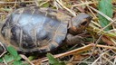 The bog turtle is protected under the Endangered Species Act as a federally threatened species.