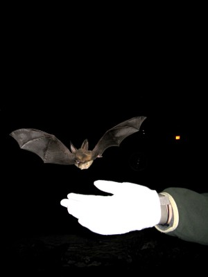 Released Virginia big-eared bat