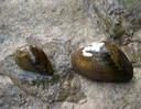 Snuffbox mussesl which were recently listed as endangered by the U.S. Fish and Wildlife Service.