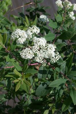 Virginia spriraea