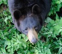 Smallest of the three bears species found in North America