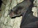 The grey bat is an endangered species that lives in caves year-round.
