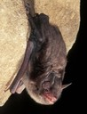 The Indiana bat is an endangered species that is found over most of the eastern half of the United States.