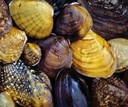 Due to their long lifespan and sensitivity to degradation, freshwater mussels are increasingly valued for tracking status and trends of the health of inland waters.