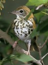 Wood Thrush breeds in the deciduous forests of eastern North America.  They are experiencing population declines due to degradation of habitat.